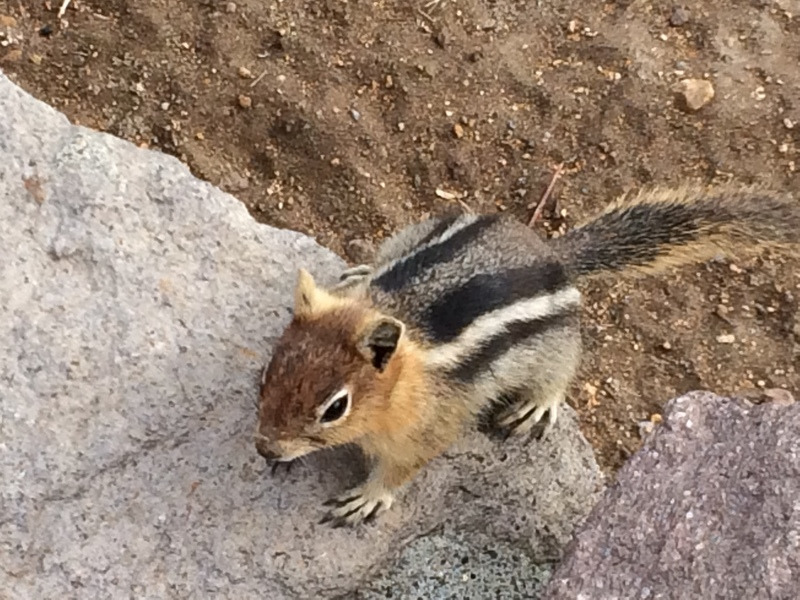 Crater Lake chipmunk
