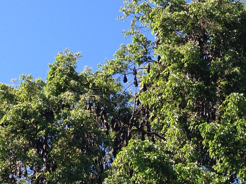 Flying foxes in a tree in Cairns
